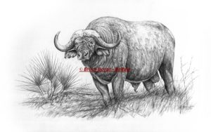 Buffalo drawing in pencil - limited edition print by Bruce Doran