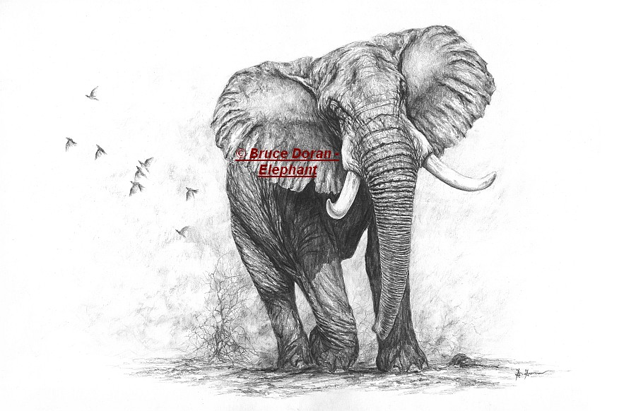 Elephant drawing pencil limited edition print - 51cm wide - by Bruce Doran