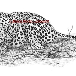 Leopard - print of pencil drawing by Bruce Doran - limited edition