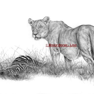 Lion drawing in pencil - limited edition - by Bruce Doran